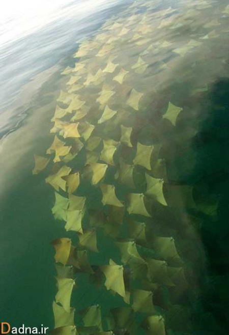 مهاجرت سفره ماهی ها